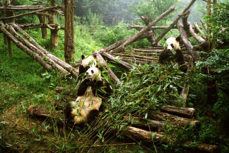 Panda's in het fokcentrum te Chengdu
