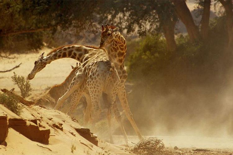 Vechtende giraffen (copyright BBC)