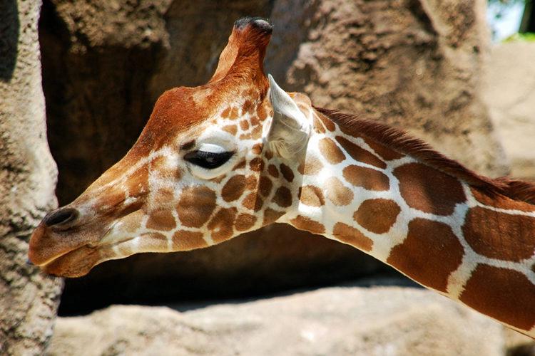 Giraffe (foto:flickr/mimsmithfaro)