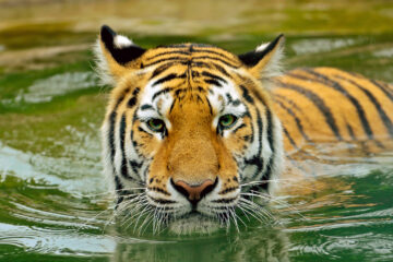 Eka Kurniawan: Man Tiger (foto:flickr/poisonpill)